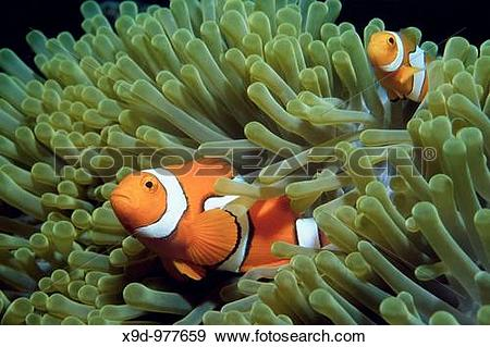 Stock Photograph of Two clown anemonefish, Amphiprion percula.