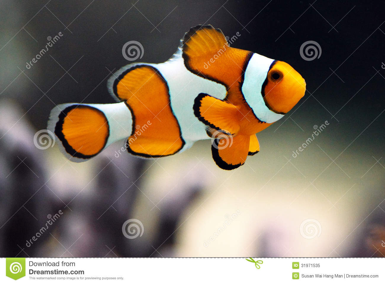 Clown Fish Or Clown Anemonefish.