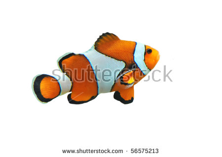 Clown Fish Isolated In White Background (Amphiprion Percula) Stock.