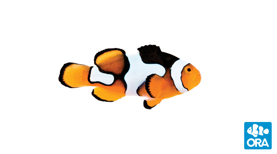Picasso Clownfish.