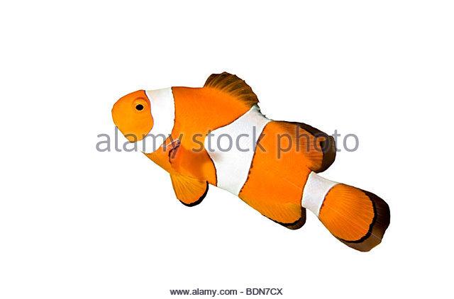 False Percula Clownfish Stock Photos & False Percula Clownfish.