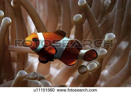 Stock Photography of Clown Anemonefish (Amphiprion percula), Nemo.
