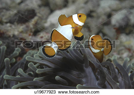 Stock Photo of Clown Anemonefish (Amphiprion percula), Nemo type.