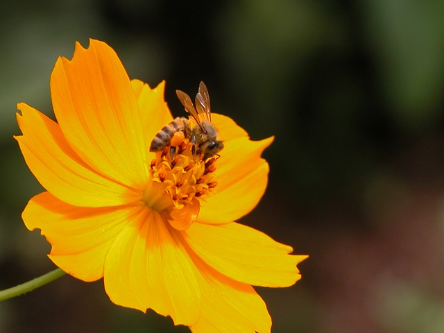 Free pictures BEE.