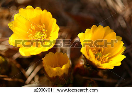 Stock Photography of Far East Amur Adonis Flowers u29907011.