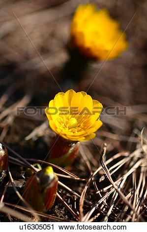 Stock Photography of Far East Amur Adonis u16305051.