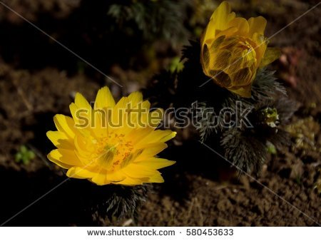 Adonis Flower Stock Photos, Royalty.