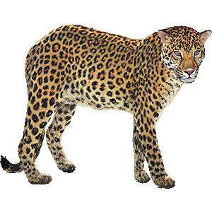 Amur leopard clipart.