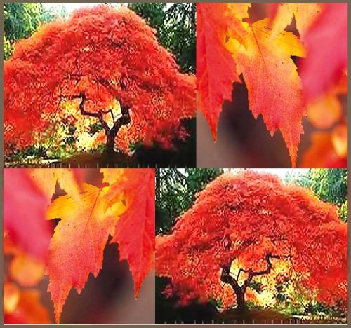 Flame Amur Maple, Bright Red Leaves, Great as a Bonsai Specimen.