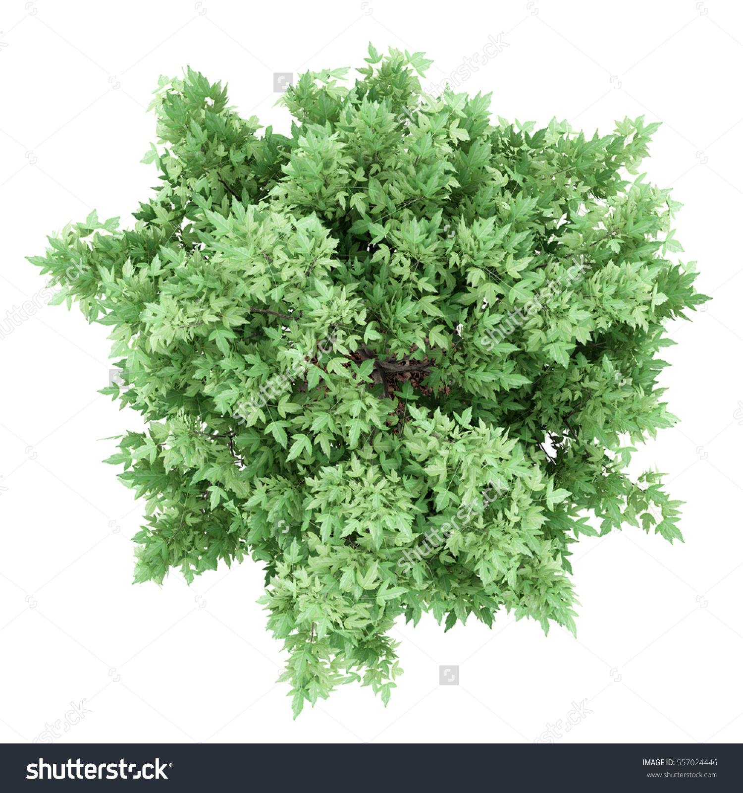 Top View Amur Maple Tree Isolated Stock Illustration 557024446.