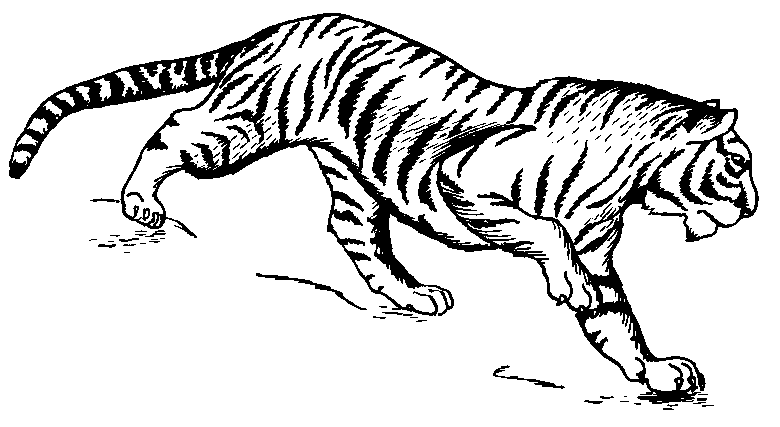 Siberian tiger hd clipart.