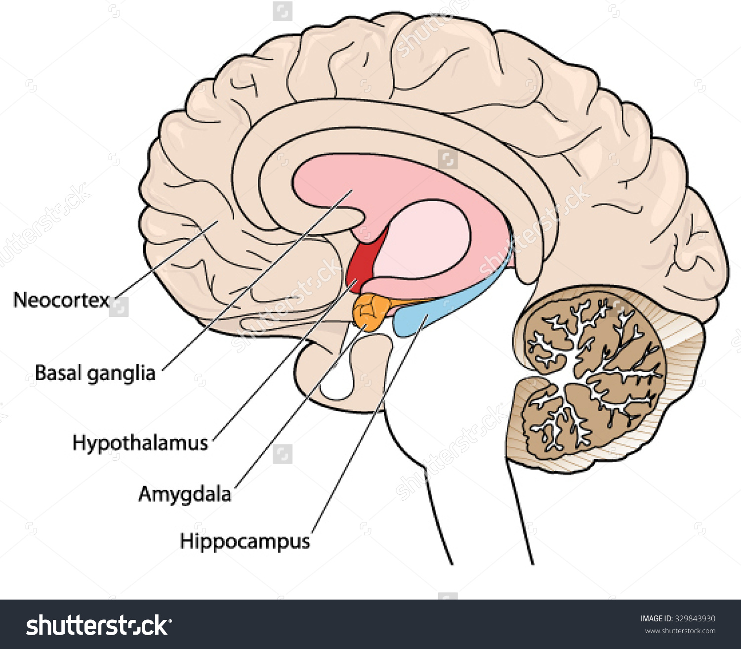 Brain Cross Section Showing Basal Ganglia Stock Vector 329843930.