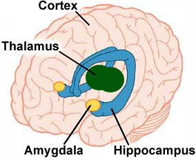 The amygdala: a full brain integrator in the face of fear.