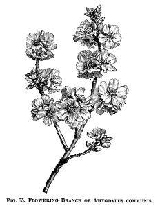 Amygdalus Communis, flowering almond, black and white clip art.
