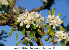 Amygdalus Images and Stock Photos. 332 amygdalus photography and.