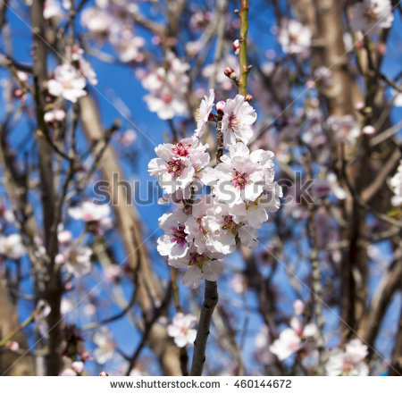 Amygdalus Communis Stock Photos, Royalty.