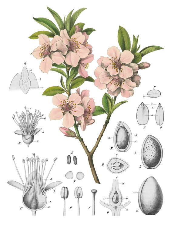 Amygdalus communis, or Almond tree (specifically sweet almonds.