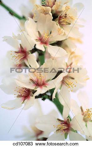 Stock Photo of Almond flowers (Amygdalus communis) cd107083.