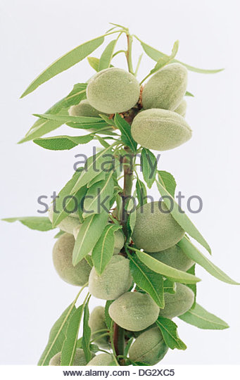 Almond Tree Cut Out Stock Photos & Almond Tree Cut Out Stock.