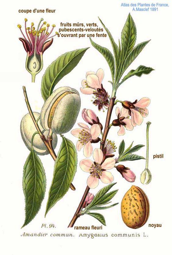 Ilustración de la Amygdalus communis L. De Amédée Masclef.