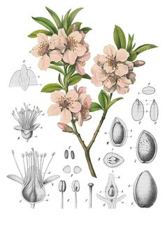 The almond (Prunus dulcis, syn. Prunus amygdalus Batsch.