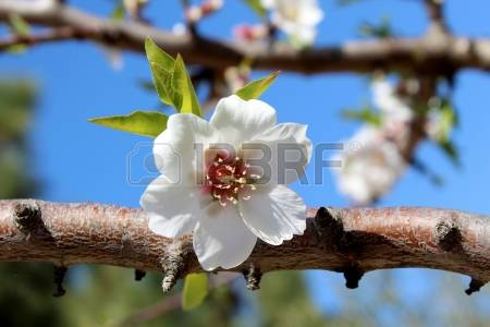 Amygdalus Dulcis Images & Stock Pictures. 114 Royalty Free.