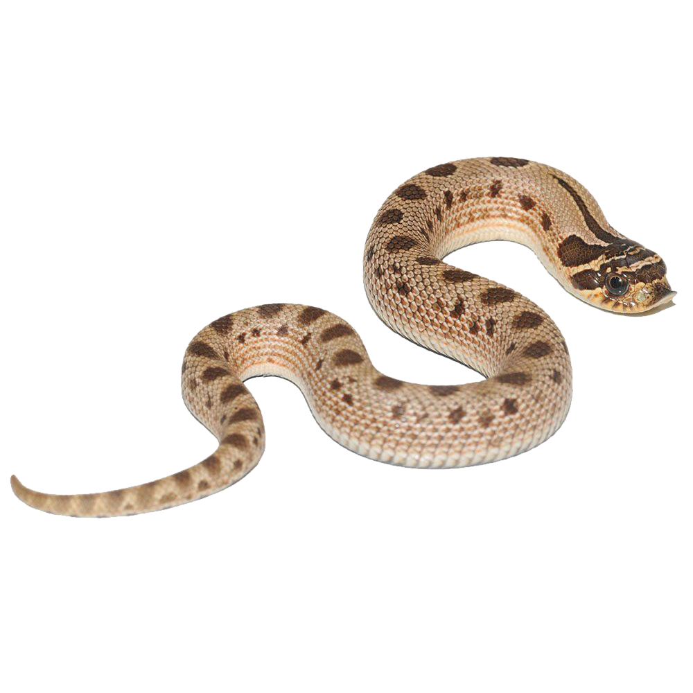 Anaconda Free Png Images.