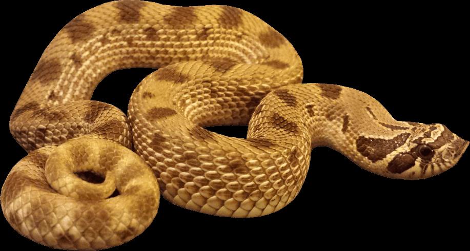 Anaconda Snake transparent PNG.
