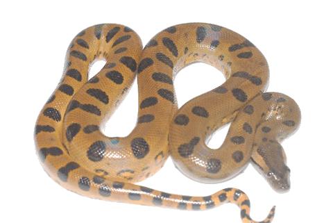 Download Free png Anaconda PNG Transparent Image.