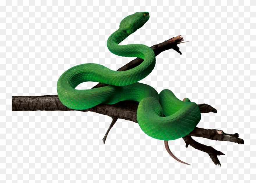 Anaconda Png Pic.