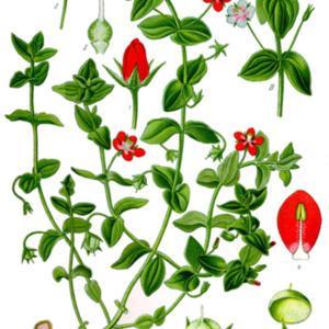 Anagallis arvensis var. caerulea.