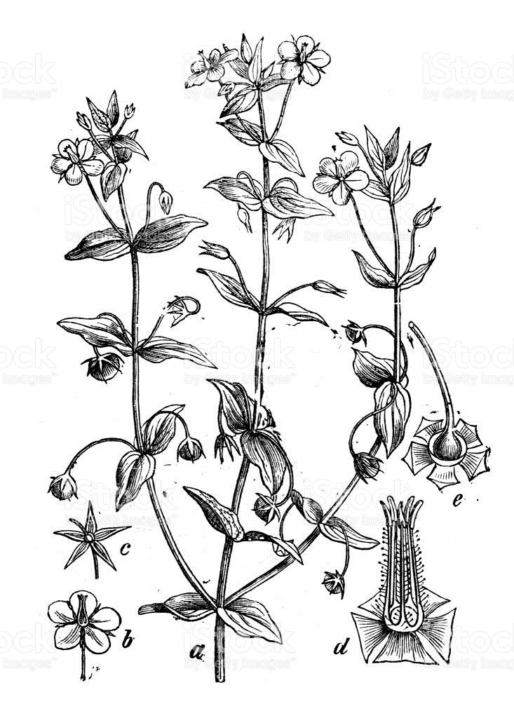 Botany Plants Antique Engraving Illustration Anagallis Arvensis.