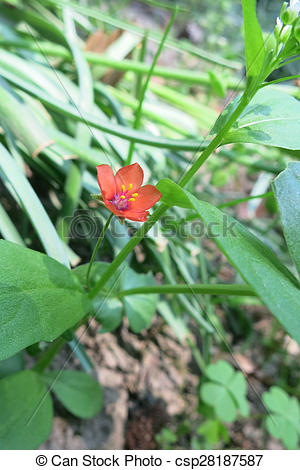 Pictures of Scarlet pimpernel (Anagallis arvensis) in the meadow.