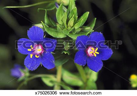 Stock Images of scarlet pimpernel anagallis arvensis blue form.