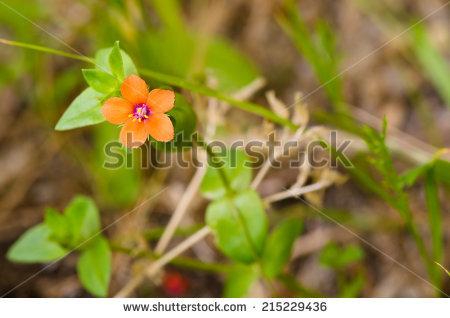 Anagallis arvensis Stock Photos, Images, & Pictures.