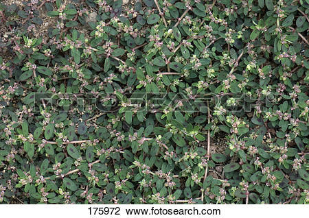 Stock Photo of Spotted Spurge, Prostrate Spurge (Euphorbia.