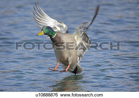 Stock Images of duck, animal, drake, bird, approach, enterich.