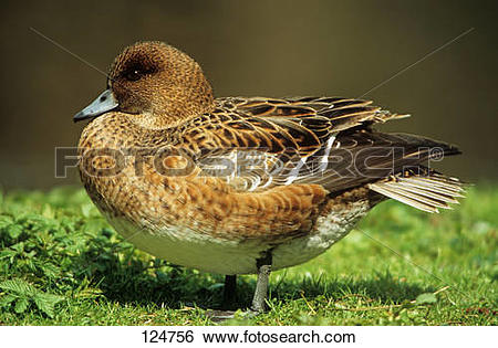 Stock Images of wigeon.