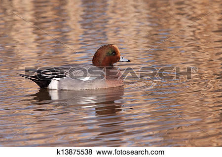Pictures of Male Wigeon or Eurasian Wigeon (Anas penelope.