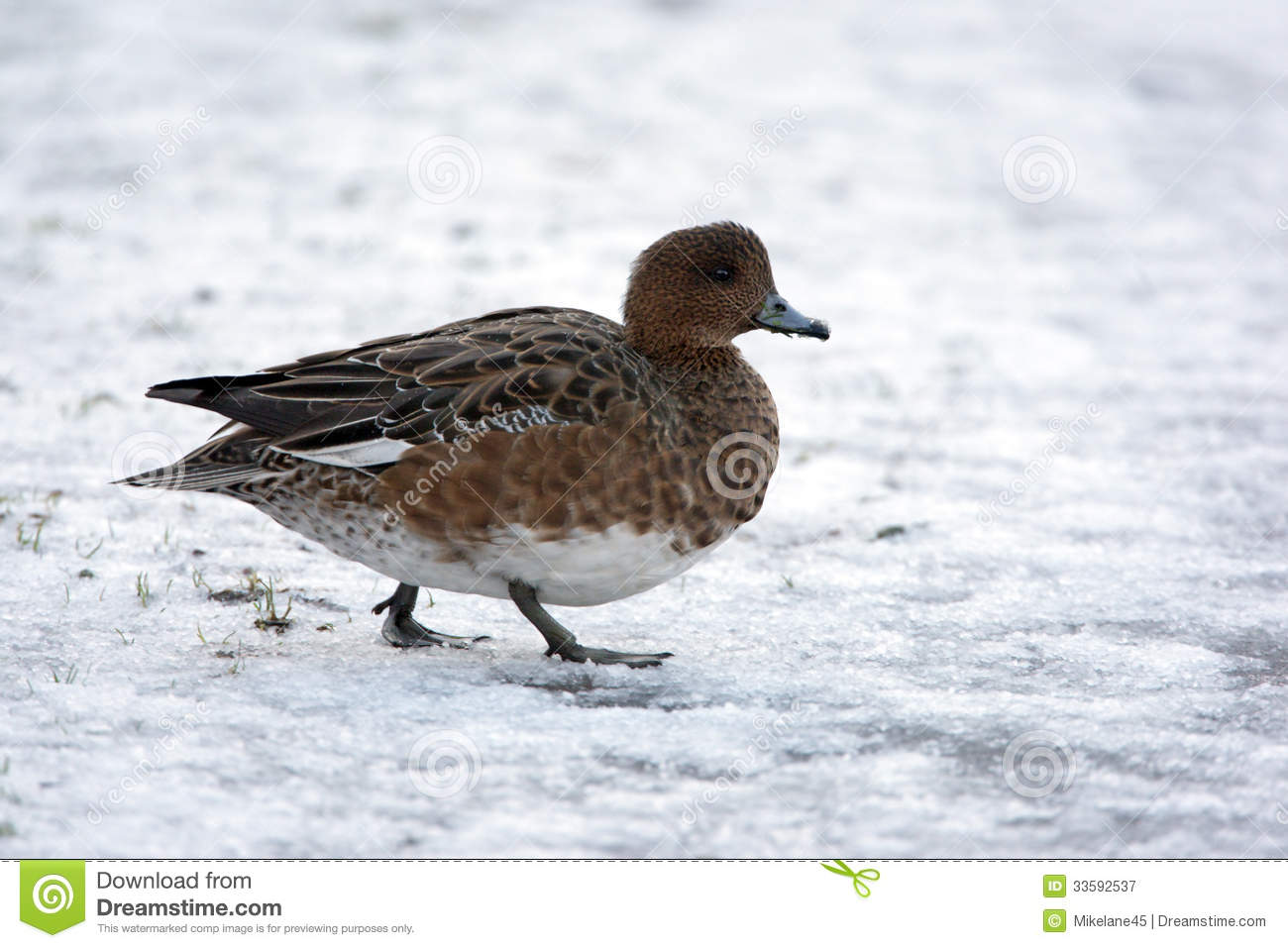 Wigeon, Anas Penelope Royalty Free Stock Photography.