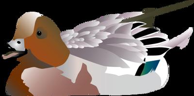Anas penelope (Eurasian Wigeon).