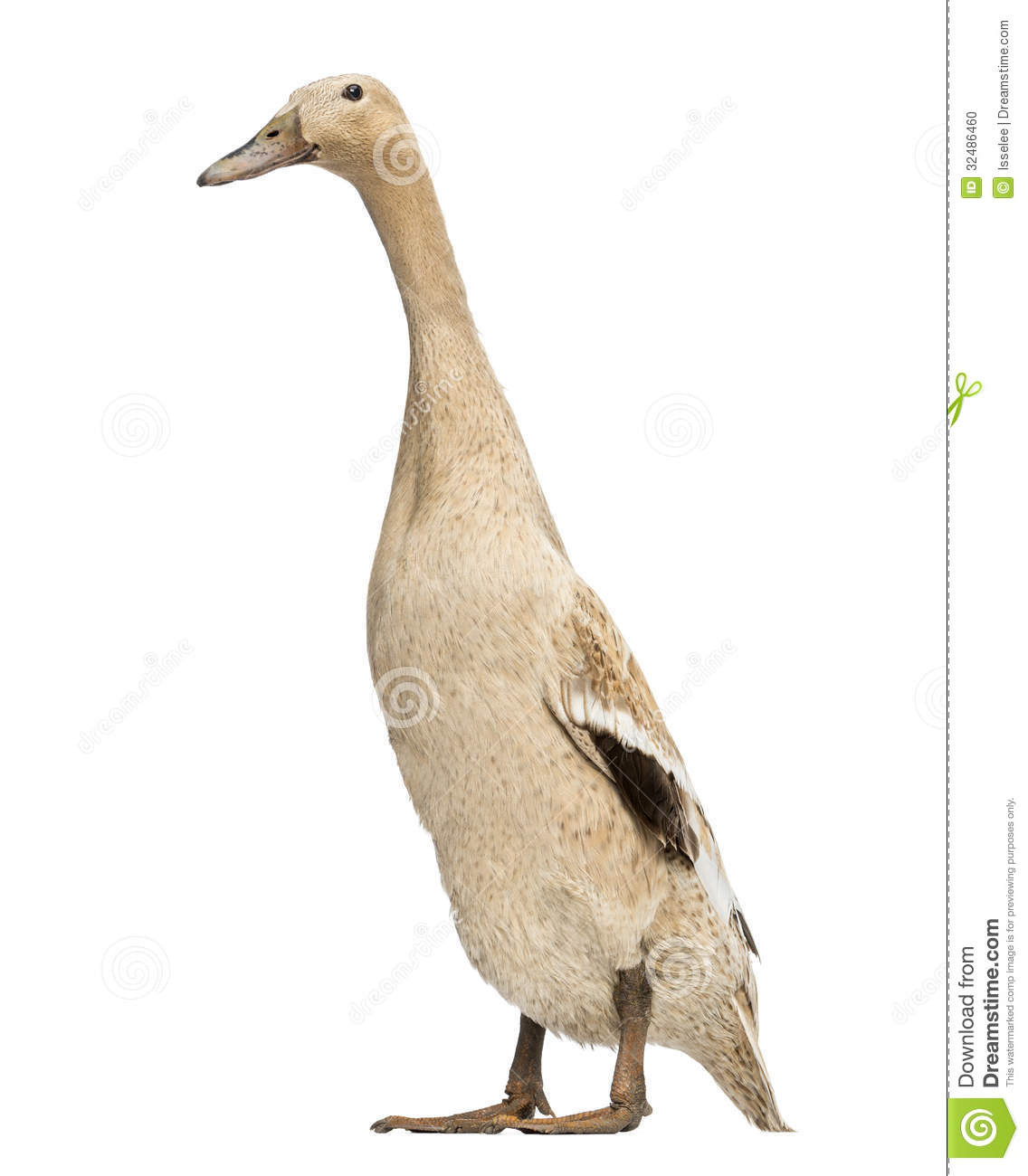 Female Indian Runner Duck, Anas Platyrhynchos Domesticus, Standing.