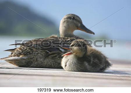 Stock Photograph of Mallard (Anas platyrhynchos), Ducklings.
