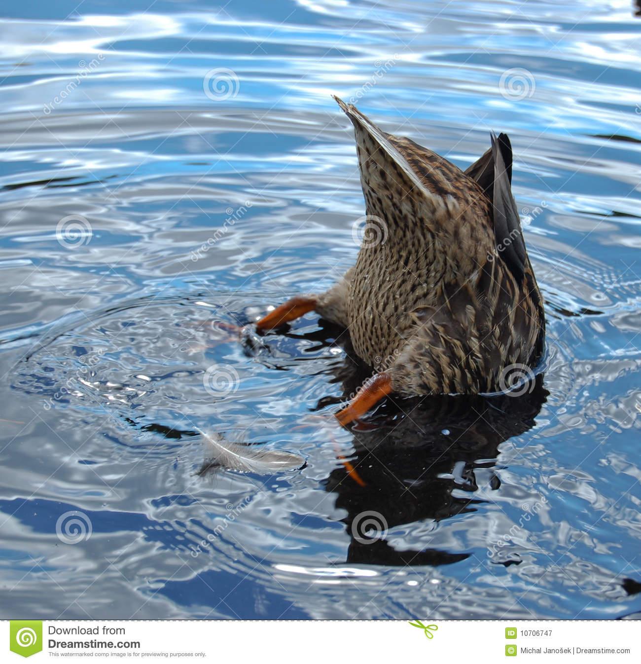 Hunting Duck Anas Platyrhynchos Royalty Free Stock Photography.