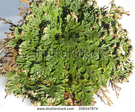 Anastatica Hierochuntica Stock Photos, Images, & Pictures.