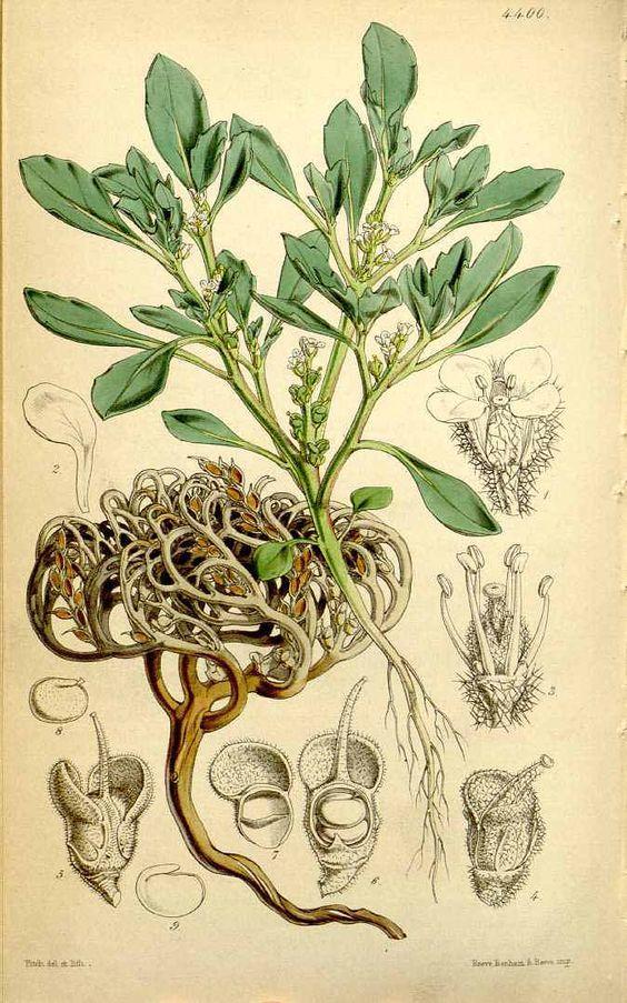 710 Anastatica hierochuntica L. / Curtis's Botanical Magazine, vol.