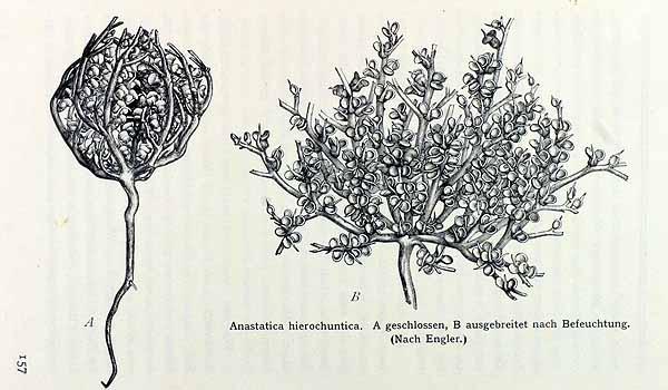 The Flower of Maryam (Anastatica hierochuntica).