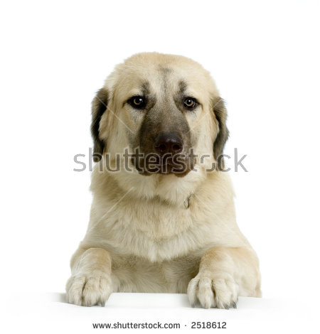 Anatolian Shepherd Dog Stock Photos, Royalty.