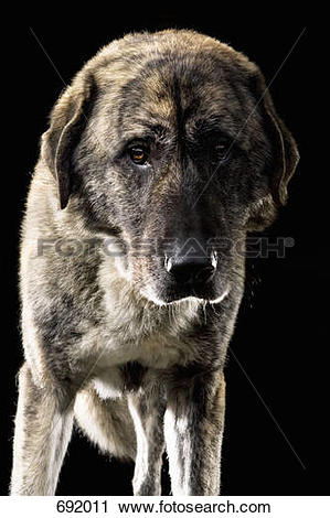 Stock Photography of Anatolian Shepherd Dog, Portrait 692011.