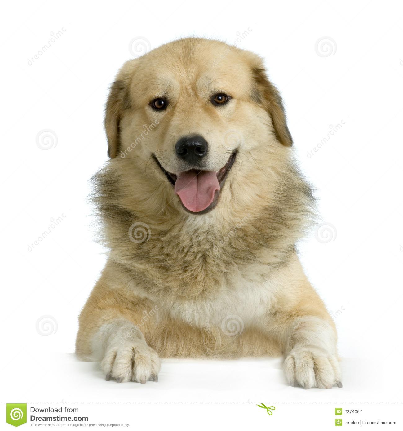 Anatolian Shepherd Dog Kangal Royalty Free Stock Images.